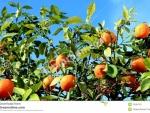 Izmir Narlıdere Sahilevlerinde 3000m2 villa imarlı mandalina bahçesi